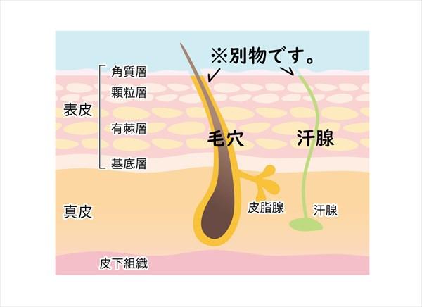 毛穴と汗腺は別物です